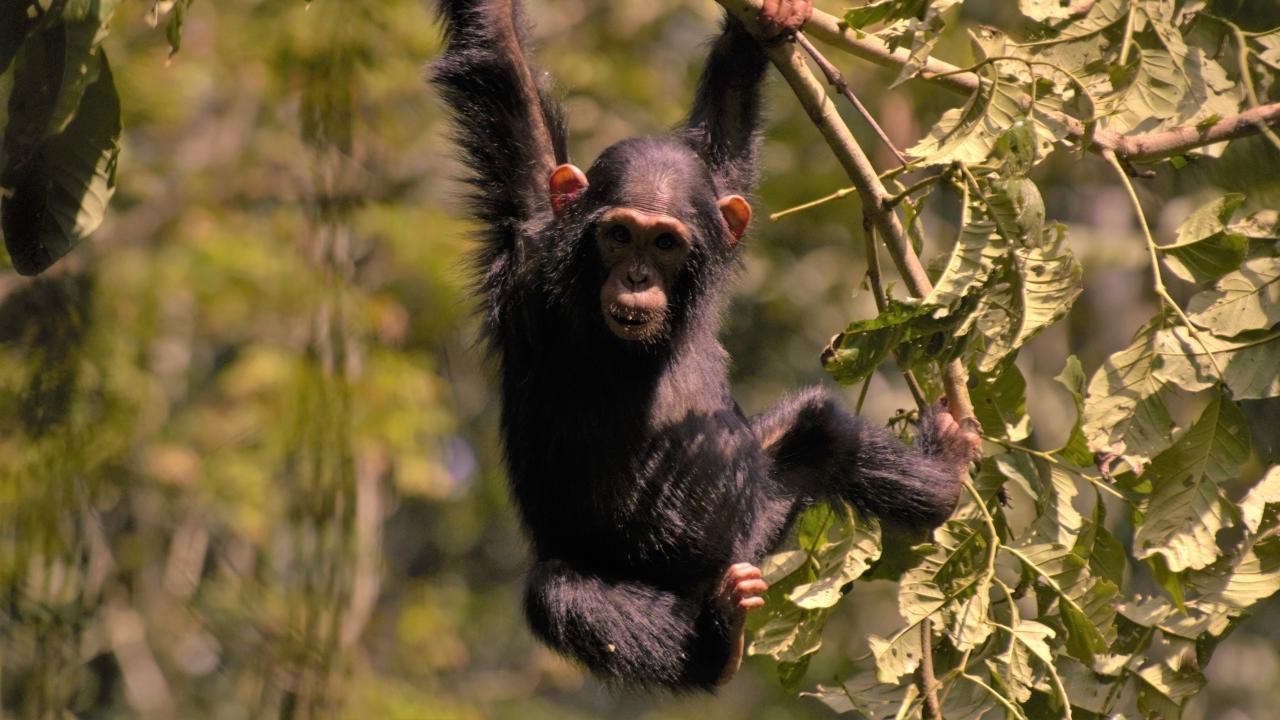 det vilde uganda